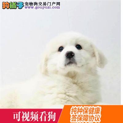 德宏州上门犬业出售大白熊/当天全款包邮·送货上门