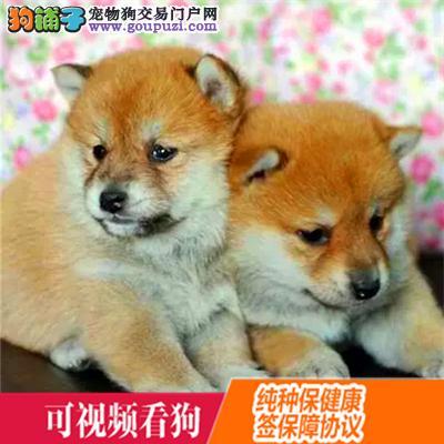 怒江州上门犬业出售秋田犬/当天全款包邮·送货上门