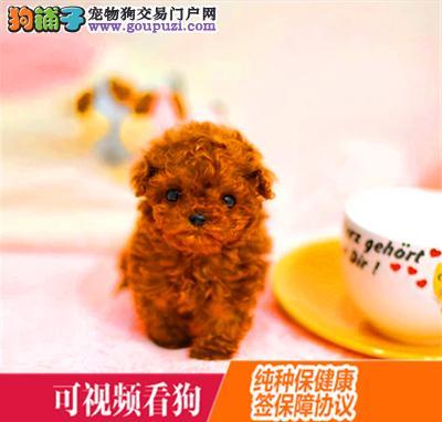 怒江州上门犬业出售泰迪犬/当天全款包邮·送货上门