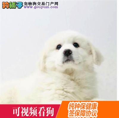 怒江州上门犬业出售大白熊/当天全款包邮·送货上门