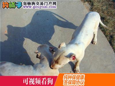 怒江州上门犬业出售杜高犬/当天全款包邮·送货上门