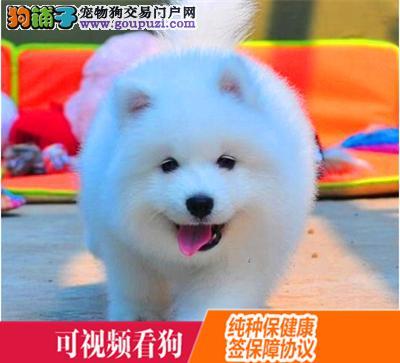 铜仁地区上门犬业出售萨摩耶/当天全款包邮·送货上门