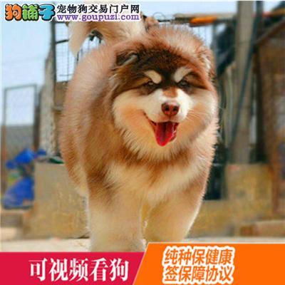黔西南州上门犬业出售阿拉斯加犬/当天全款包邮·送货