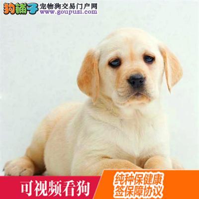 黔东南州上门犬业出售拉布拉多犬/当天全款包邮·送货