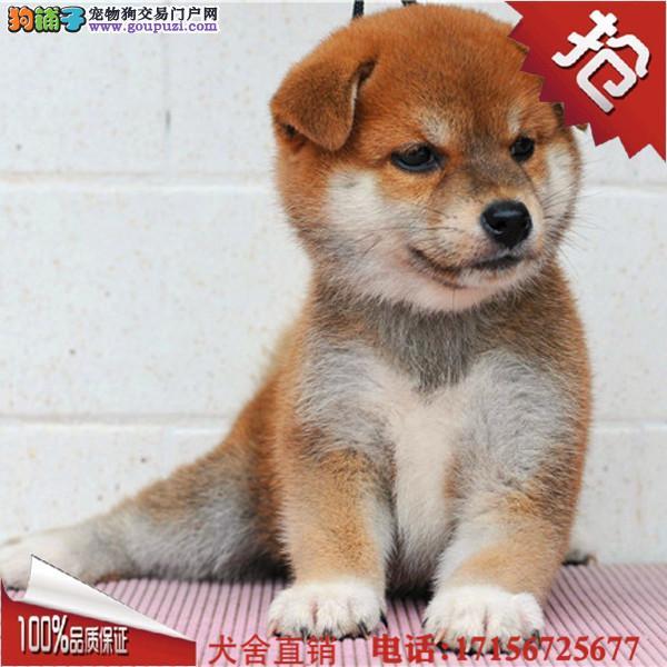 琼中县出售精品柴犬、包纯种·保健康·签协议