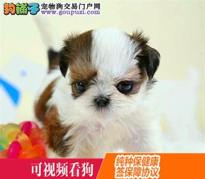 克孜勒苏上门犬业出售西施犬/当天全款包邮·送货上门