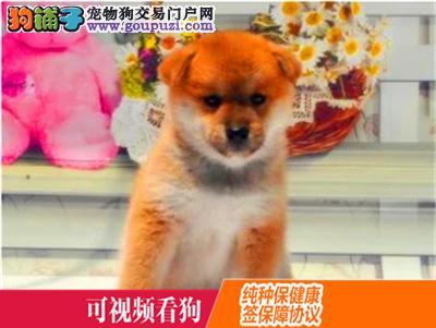 巴音郭楞上门犬业出售柴犬/当天全款包邮·送货上门