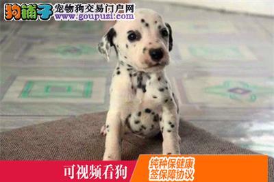 昌吉州上门犬业出售斑点狗/当天全款包邮·送货上门