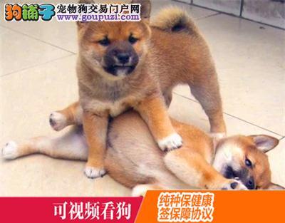 博尔塔拉上门犬业出售柴犬/当天全款包邮·送货上门