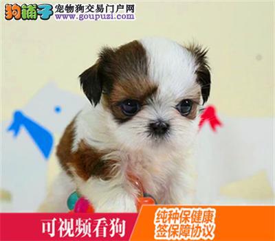 固原市上门犬业出售西施犬/当天全款包邮·送货上门