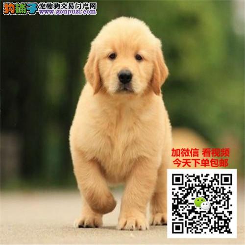 出售精品金毛犬/包纯种·保健康·包养活/可送货上门