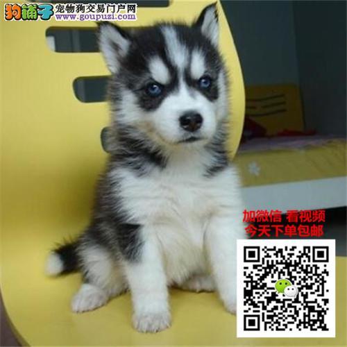 广西最大的犬舍基地出售哈士奇蓝眼幼犬
