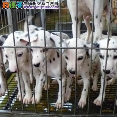 昆明本地狗场繁殖斑点犬 昆明纯种斑点小狗点这里
