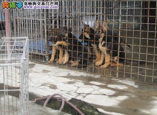 昆明本地狗场繁殖狼狗犬 昆明纯种狼狗幼犬点这里