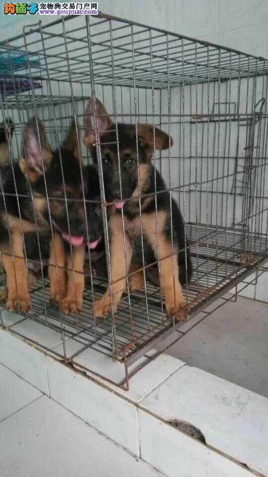 云南买狗网云南昆明地区哪里有纯种狼狗出售