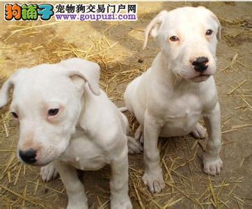 纯种杜高幼犬价格 质量三包 大头版 大骨架