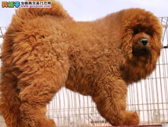 狮子头吊嘴藏獒犬、门神守护者、血统纯、品相极佳