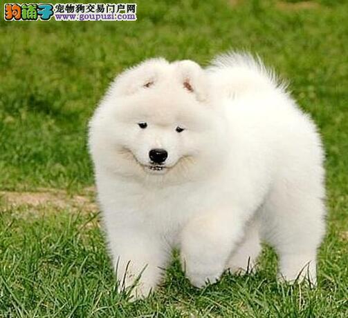 高品质萨摩耶幼犬 保纯种、健康