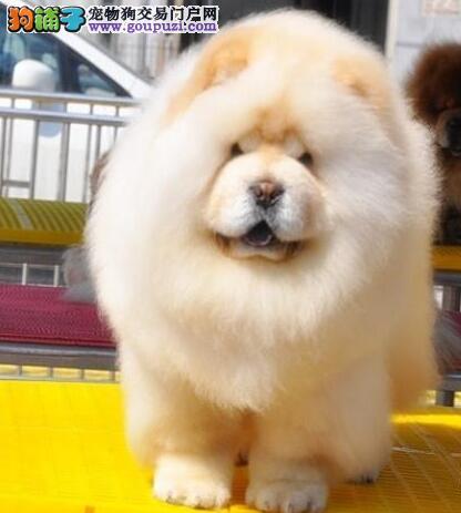 肉嘴紫舌松狮犬 各类纯种名犬