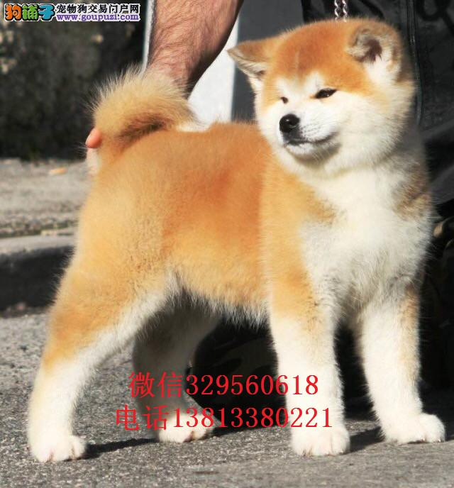 兰州秋田犬出售 秋田犬多少钱 秋田犬出售 秋田犬图片