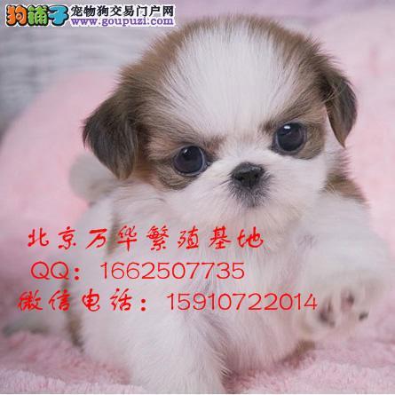 西施幼犬出售 纯种犬健康质保 万华犬舍