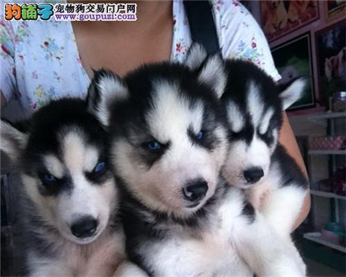 家养健康纯种哈士奇犬 有实拍照片 自取1000一只