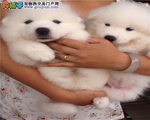 家养健康纯种萨摩耶犬 有实拍照片 自取1000一只