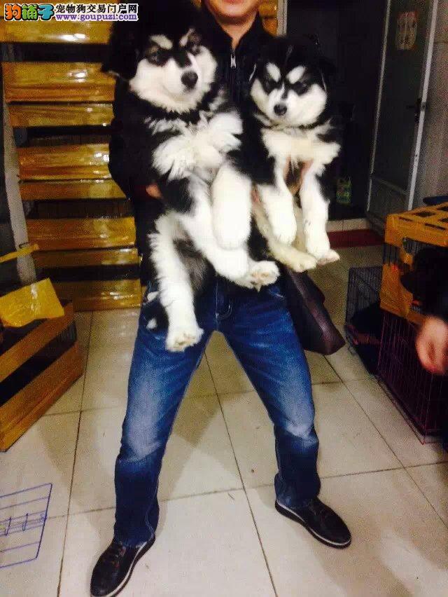 家养健康纯种阿拉斯加犬 有实拍照片 自取1000一只