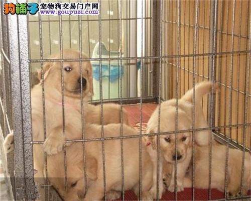 家养健康纯种金毛犬 有实拍照片 自取1000一只