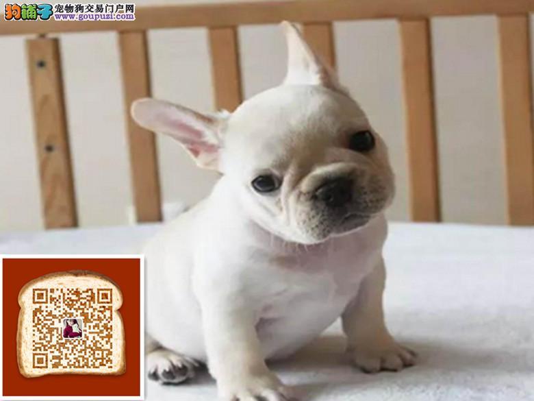 出售纯种双血统活泼 聪明的法国斗牛犬带证书 包健康
