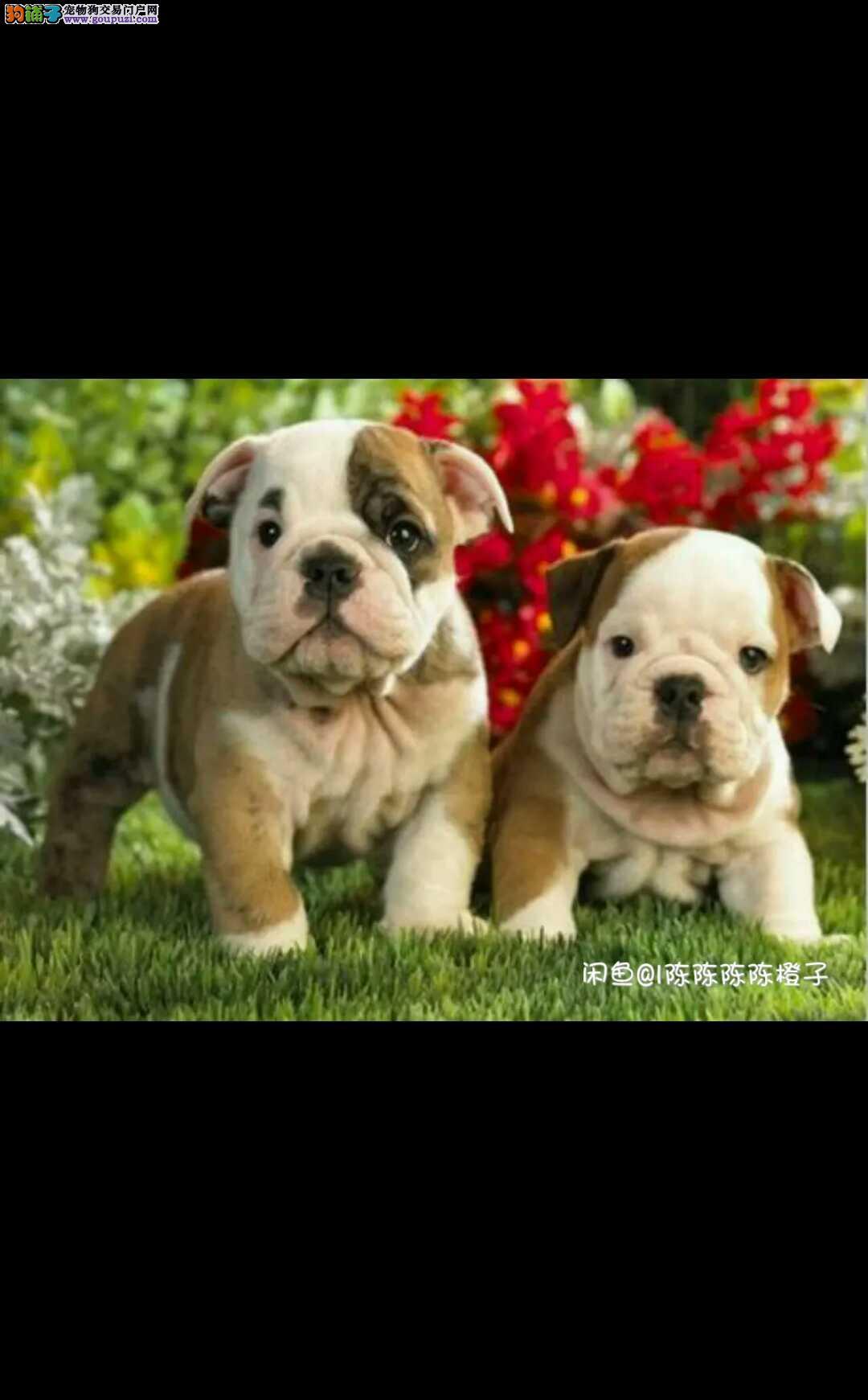 犬舍直销纯种双血统活泼 憨厚的英国斗牛犬带证书
