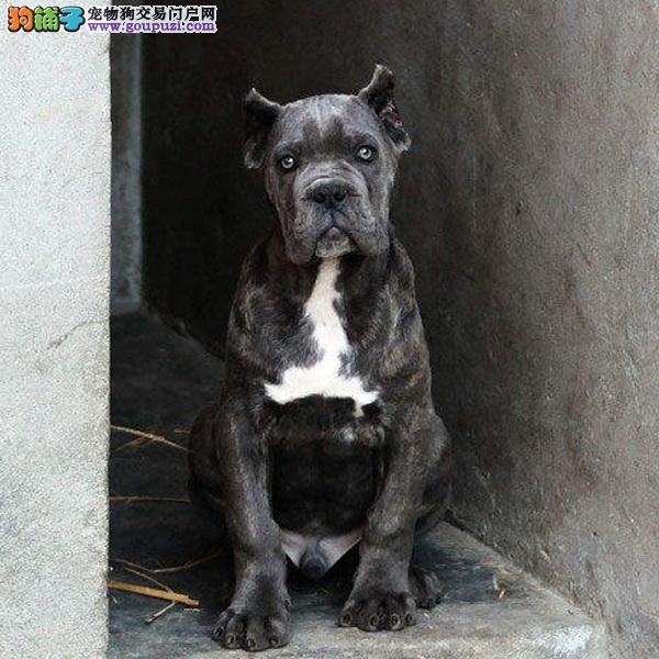 正宗极品卡斯罗犬绝对血统纯正优惠出售中狗贩子勿扰