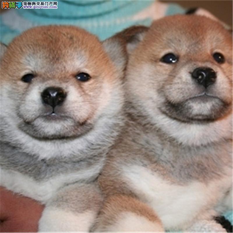 纯种柴犬 幼犬出售 日本系忠犬八公 秋田犬 精品