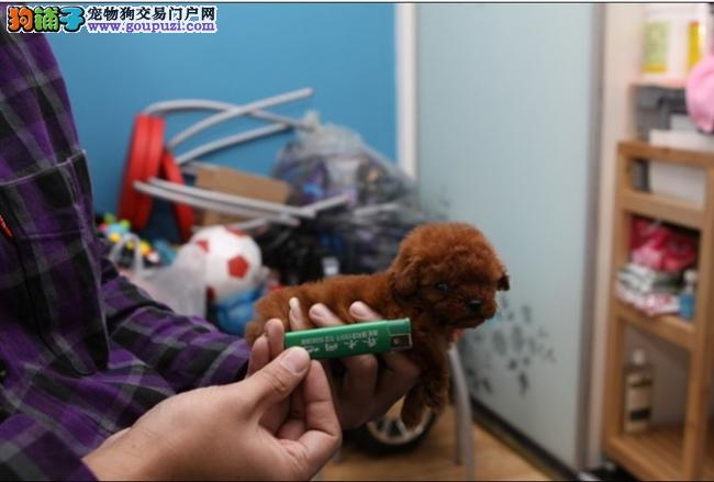 泰迪熊 贵宾幼犬出售中国犬业协会认证实体店健保