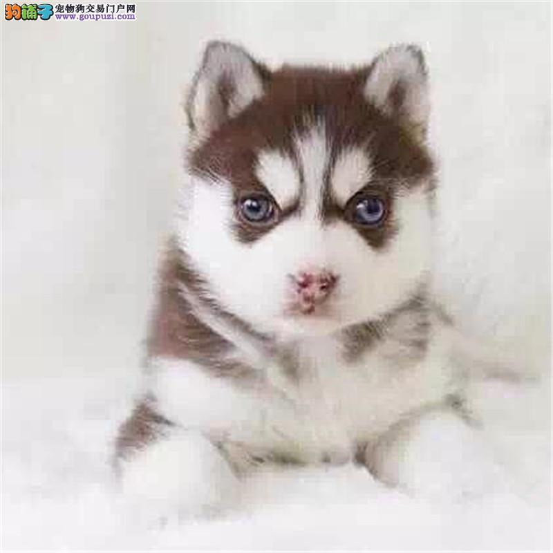 宝石蓝眼睛 呆萌二哈 哈士奇犬舍直销 支持送狗上门