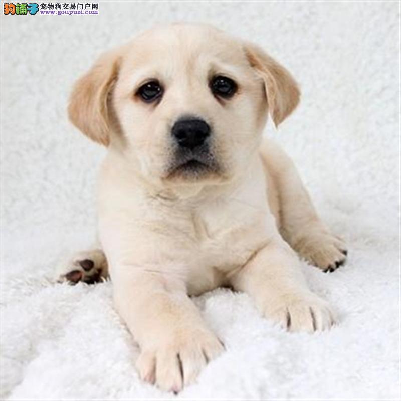 出售纯种聪明的拉布拉多幼犬品相好头版好 包健康