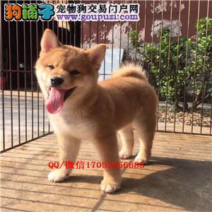 大连柴犬 纯种柴犬 大连哪里卖柴犬 日系纯种柴犬出售
