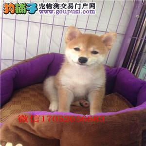 门哪里卖柴犬 日本柴犬出售 柴犬多少钱一只