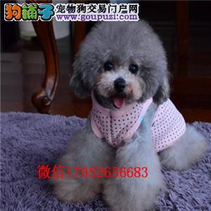 成都小体贵宾幼犬出售 灰色红色贵宾 茶杯贵宾长不大