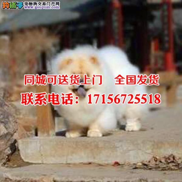出售精品松狮犬、包纯种·保健康·签协议
