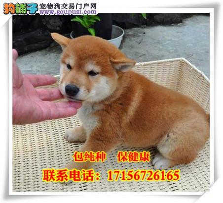 和田地区出售精品柴犬/包纯种·保健康/送货上门