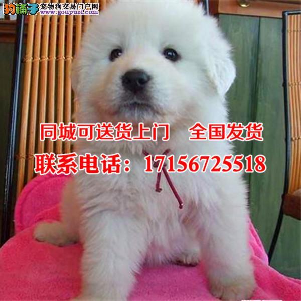 巴音郭楞出售精品大白熊、包纯种·保健康·签协议