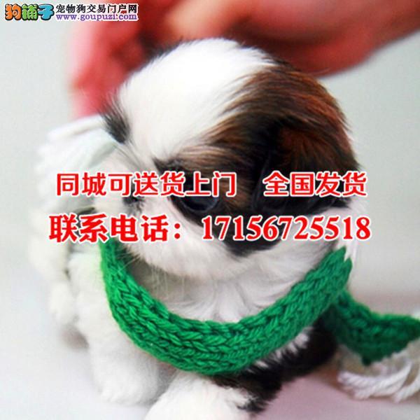 巴音郭楞出售精品西施犬、包纯种·保健康·签协议