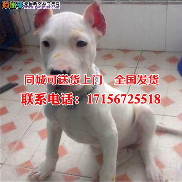 巴音郭楞出售精品杜高犬、包纯种·保健康·签协议