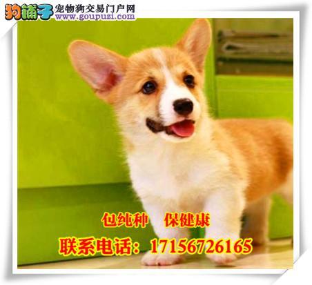 庆阳地区出售精品柯基犬/包纯种·保健康/送货上门