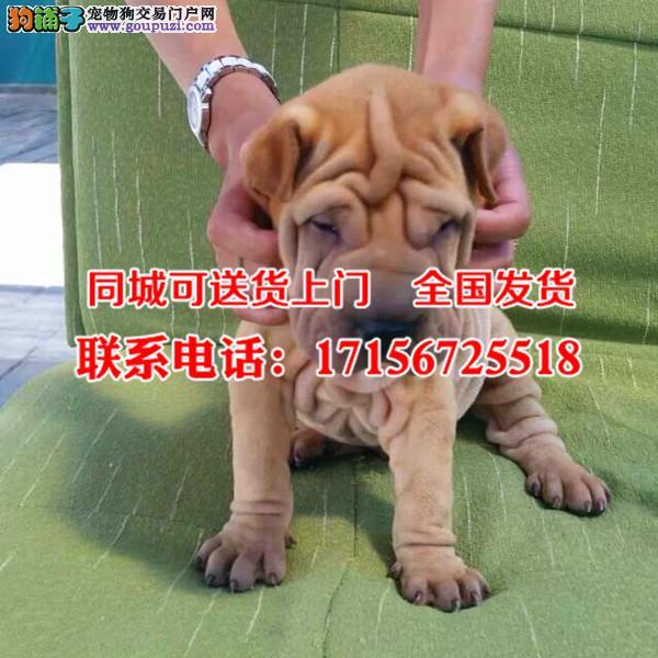 张掖地区出售精品沙皮狗、包纯种·保健康·签协议