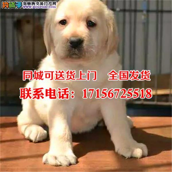 柳州市出售精品拉布拉多犬、包纯种·保健康·签协议