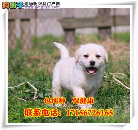 桂林市出售精品拉布拉多犬/包纯种·保健康/送货上门