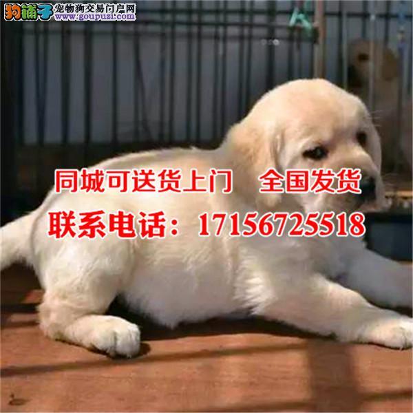 钦州市出售精品拉布拉多犬、包纯种·保健康·签协议