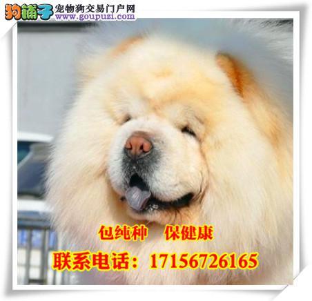 出售精品松狮犬/包纯种·保健康/送货上门